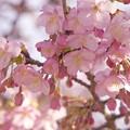 せせらぎに咲いた河津桜