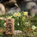 Photos: 水仙の原種とな…