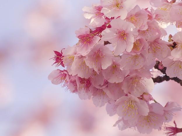 熱海桜ブーケの如く