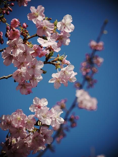 Photos: 早咲き桜咲く青空の元