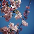 早咲き桜咲く青空の元