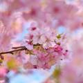 サクラ花びらに囲まれて