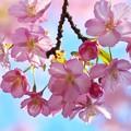 リアル河津桜