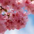 早咲き桜に春の青空を
