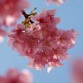 春の青空、早咲き桜を従えて