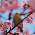 Photos: 伊豆稲取の地に桜ジロ