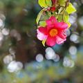 ツバキ咲く伊豆高原