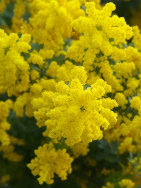 黄色い声・春の香り