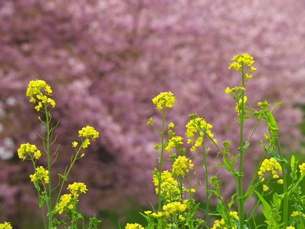 春の香りと春の色