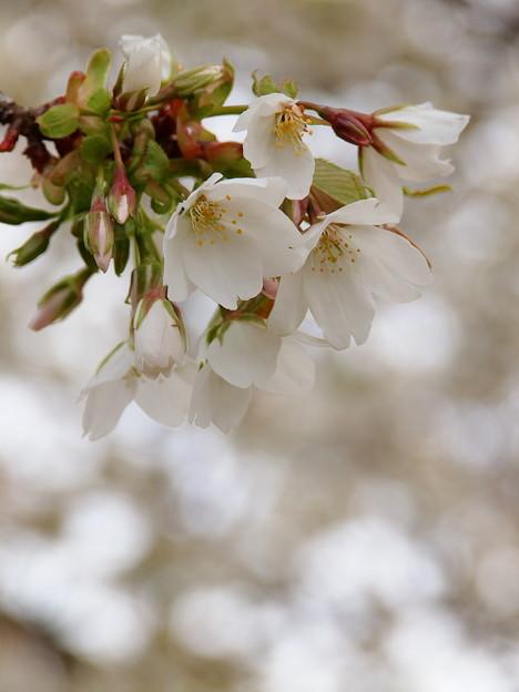 大島桜も花開く