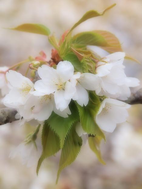 ブーケと化した大島桜
