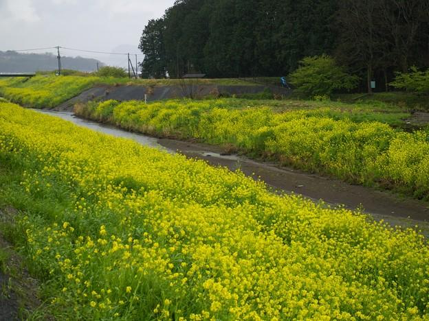 柿沢川の春の香り