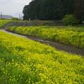 Photos: 柿沢川の春の香り