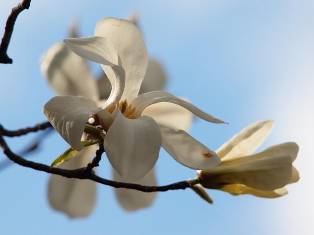 青空の下、コブシ咲く