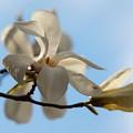 Photos: 青空の下、コブシ咲く