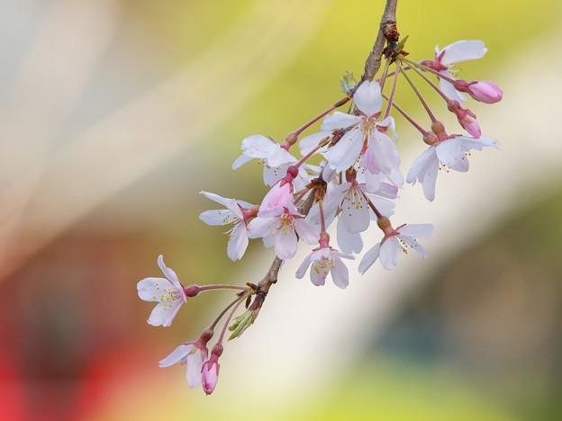 三嶋大社に春の訪れ