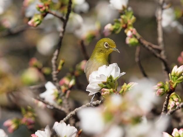 桜の中からコンニチワ♪