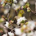 Photos: 桜の中からコンニチワ♪