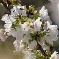 春の白い使者