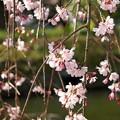 Photos: 来春も再来春もきっと…