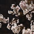 春の陽射しに輝いて
