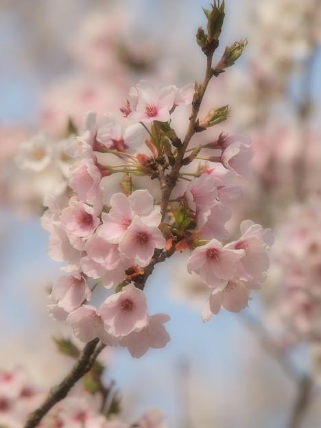 春はあけぼの