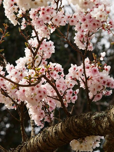 小枝から春がニョキニョキ~