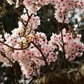 Photos: 小枝から春がニョキニョキ~