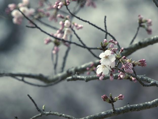 春が来たよと囁く