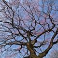 春の青空と桜の花と