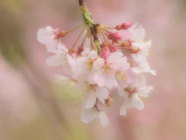 負けないで…COVID-19~春の香り