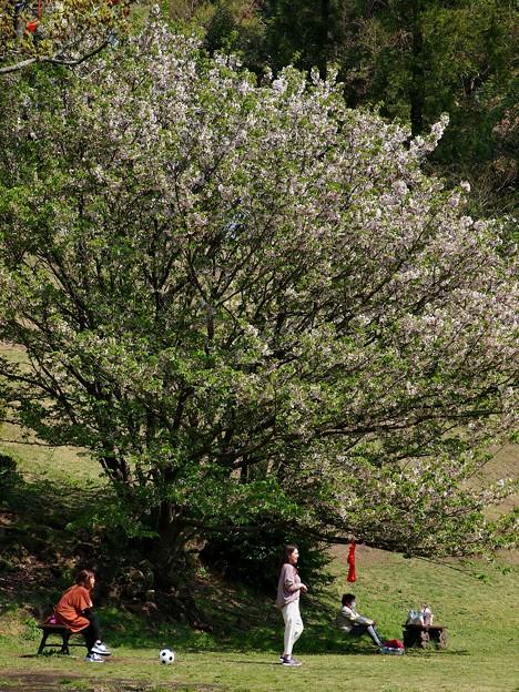 上を向いて歩こう ~ COVID-19 type-k ~ 大きな桜の樹の下で