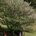 Photos: 上を向いて歩こう ~ COVID-19 type-k ~ 大きな桜の樹の下で