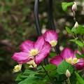 Photos: 春シーズンのクレマチス