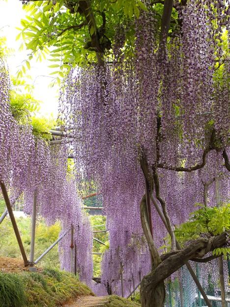 箱根山麓の藤の香り