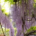 Photos: 箱根山麓の藤の香り