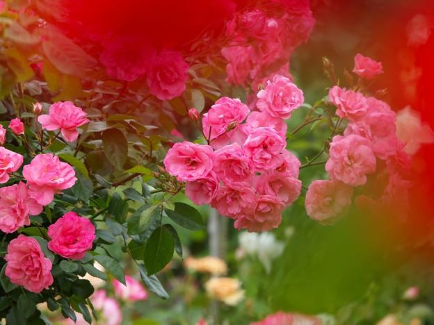 香る春薔薇