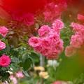Photos: 香る春薔薇