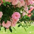 地上に舞い降りた花びらを見送る