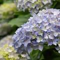 せせらぎに咲いたよ紫陽花の花 -a