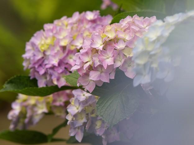 せせらぎに咲いたよ紫陽花の花 -b