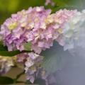 Photos: せせらぎに咲いたよ紫陽花の花 -b