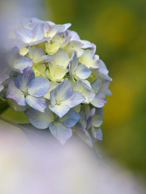 せせらぎに咲いたよ紫陽花の花 -c