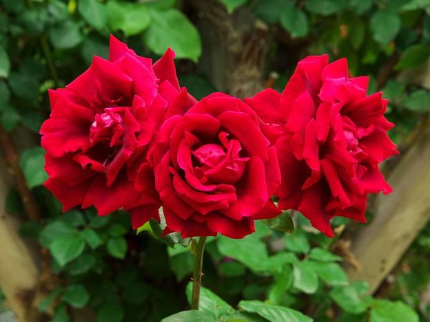春薔薇三姉妹