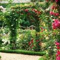 春薔薇に覆われたアーチ