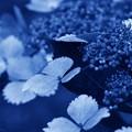紫陽花の香る頃