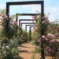初夏の青空と薔薇咲く小径
