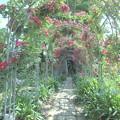 薔薇咲く小径に注ぐ陽光