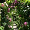 Photos: 初夏の薔薇に囲まれし小径は…