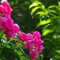 初夏の緑葉・初夏の薔薇